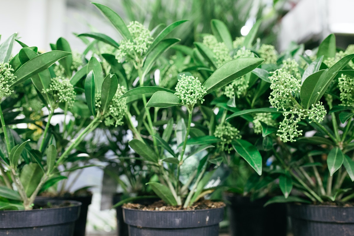 New Covent Garden Flower Market October 2017 Flower Market Report Skimmia Confusa Kew Green At Evergreen Exterior Services