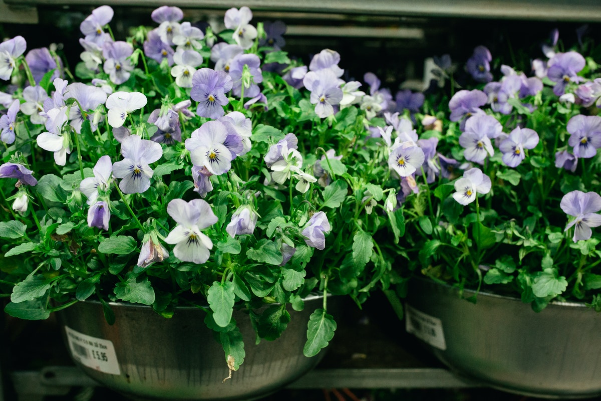 New Covent Garden Flower Market October 2017 Flower Market Report Violas In Metal Pots At A Goodchild