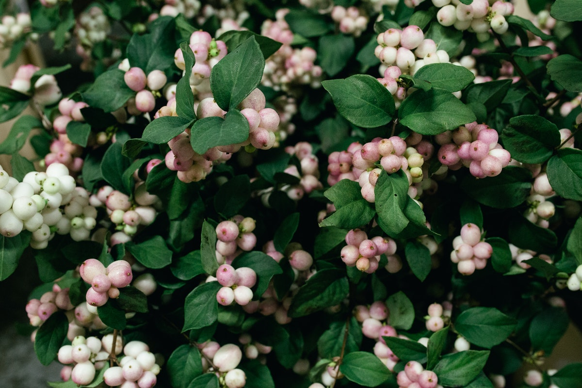New Covent Garden Flower Market October 2017 Product Profile Report Magical Mandy Snowberry At Dennis Edwards Flowers 2