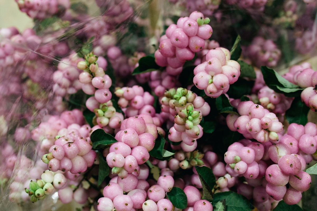 New Covent Garden Flower Market October 2017 Product Profile Report Magical Pride Snowberry At Bloomfield