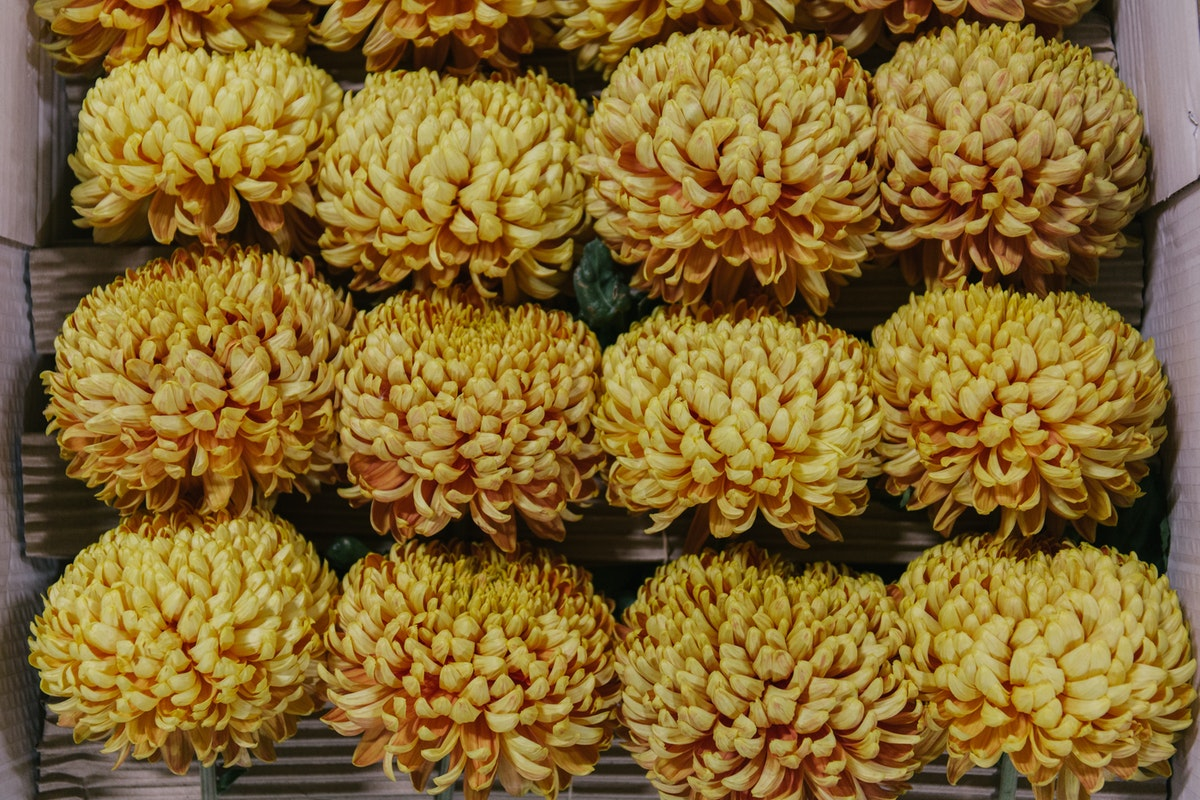 New Covent Garden Flower Market October 2018 In Season Report Rona Wheeldon Flowerona British Chrysanthemums At Pratley