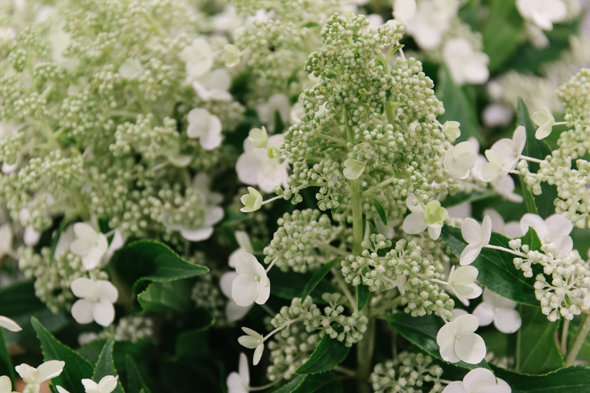 New Covent Garden Flower Market October 2018 In Season Report Rona Wheeldon Flowerona Hydrangea Paniculata Kyushu At Bloomfield