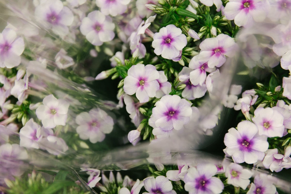 New Covent Garden Flower Market October 2018 In Season Report Rona Wheeldon Flowerona Phlox Isabella At Zest Flowers