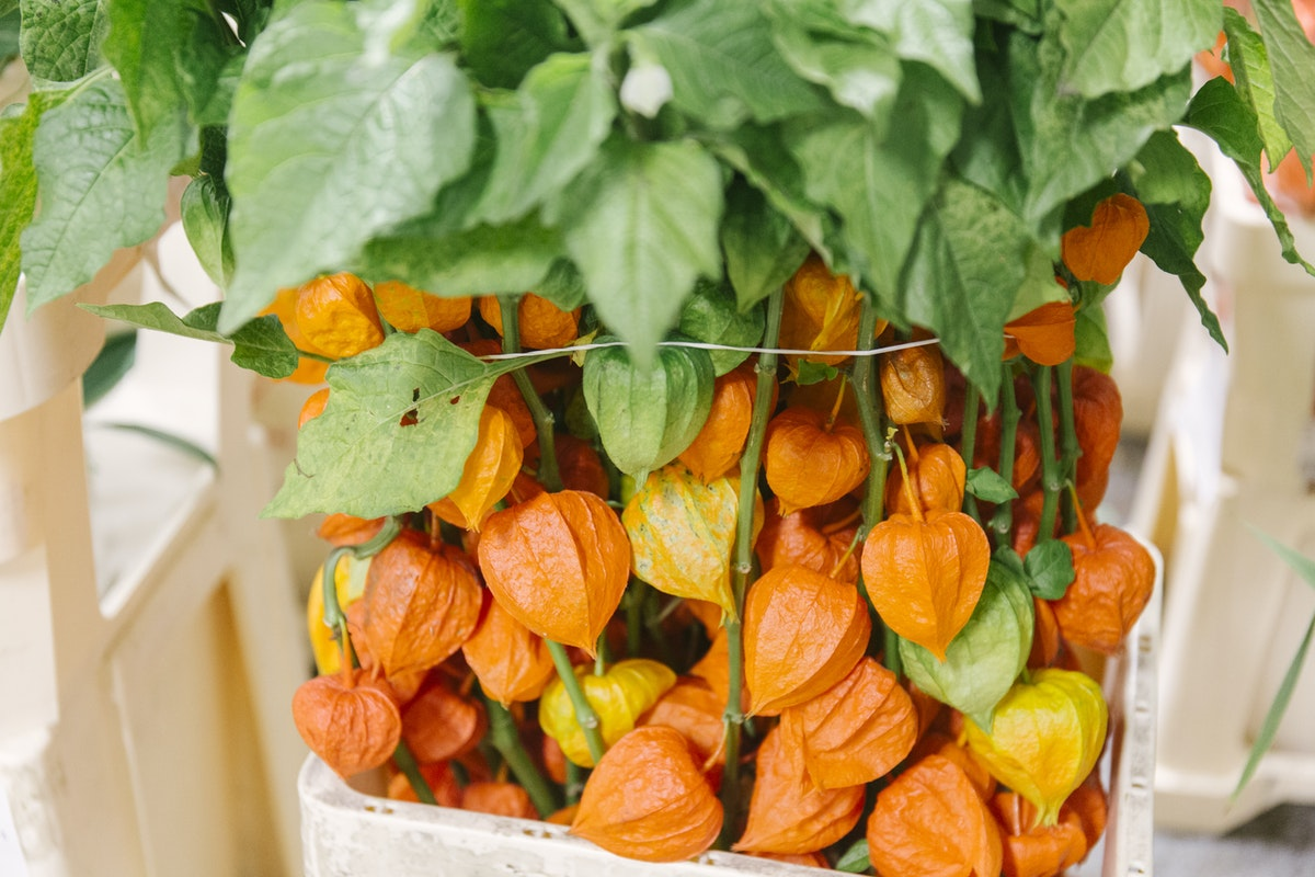 New Covent Garden Flower Market October 2019 In Season Report Rona Wheeldon Flowerona Branches Of Physalis Lampion At Dennis Edwards Flowers
