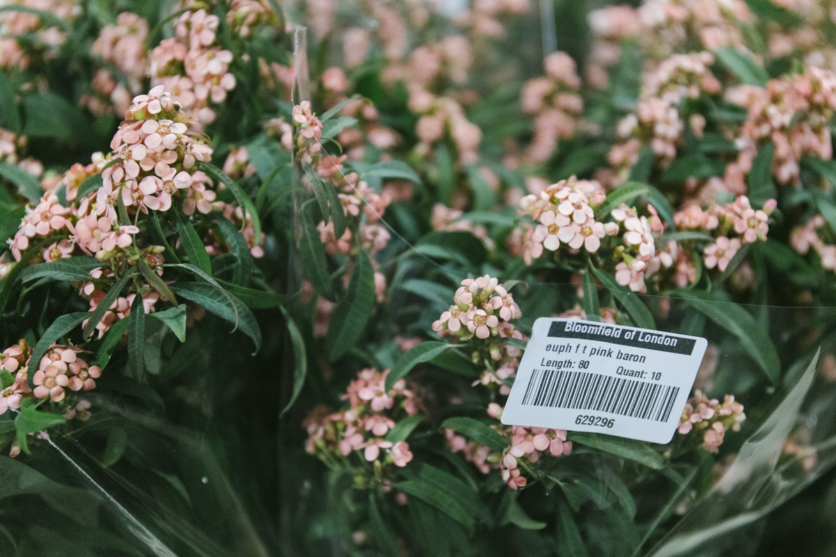 New Covent Garden Flower Market October 2019 In Season Report Rona Wheeldon Flowerona Euphorbia Pink Baron At Bloomfield
