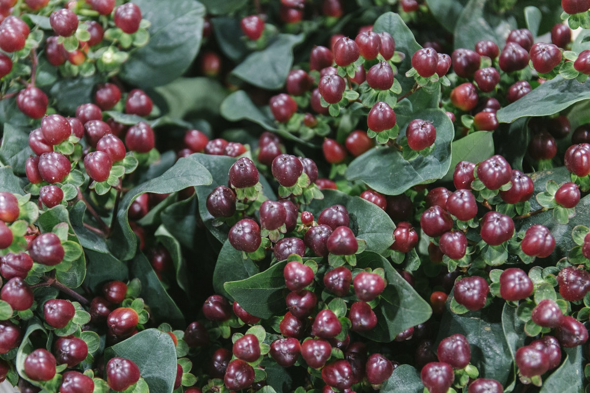 New Covent Garden Flower Market October 2019 In Season Report Rona Wheeldon Flowerona Hypericum Coco Montana At Bloomfield