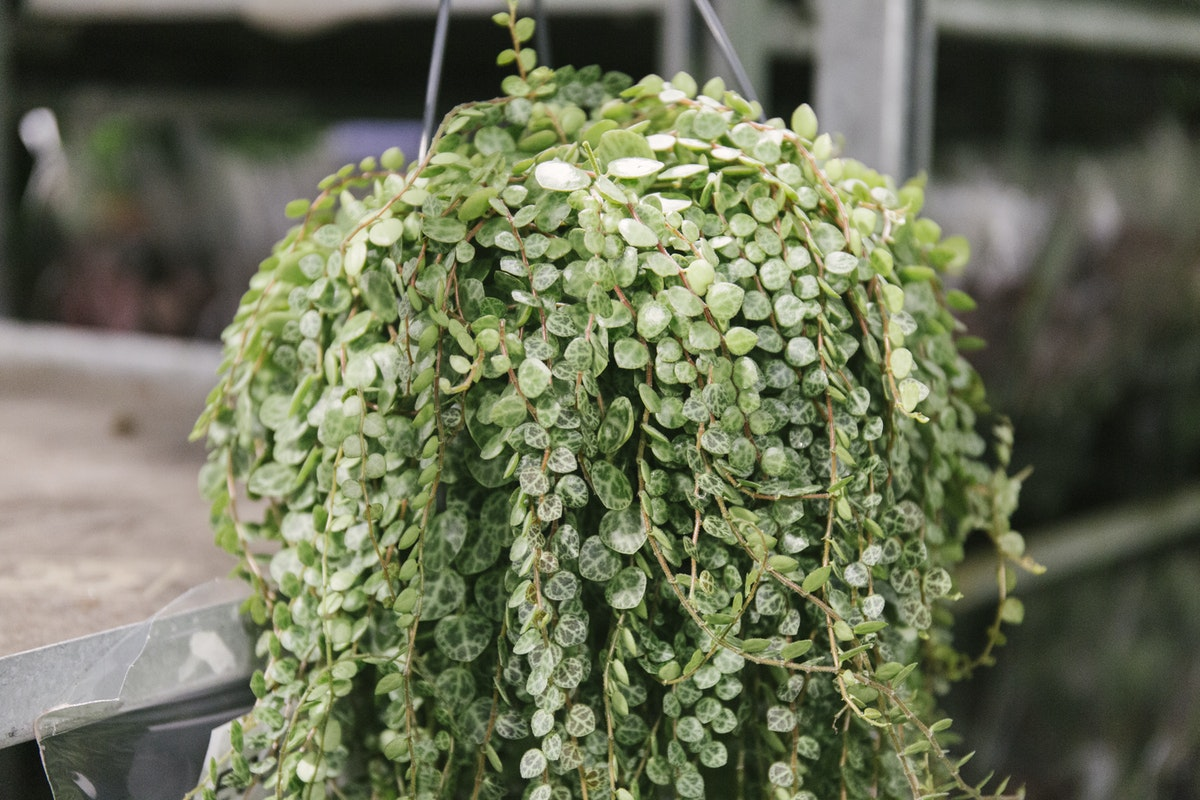New Covent Garden Flower Market October 2019 In Season Report Rona Wheeldon Flowerona Peperomia Prostrata String Of Turtles At Arnott Mason
