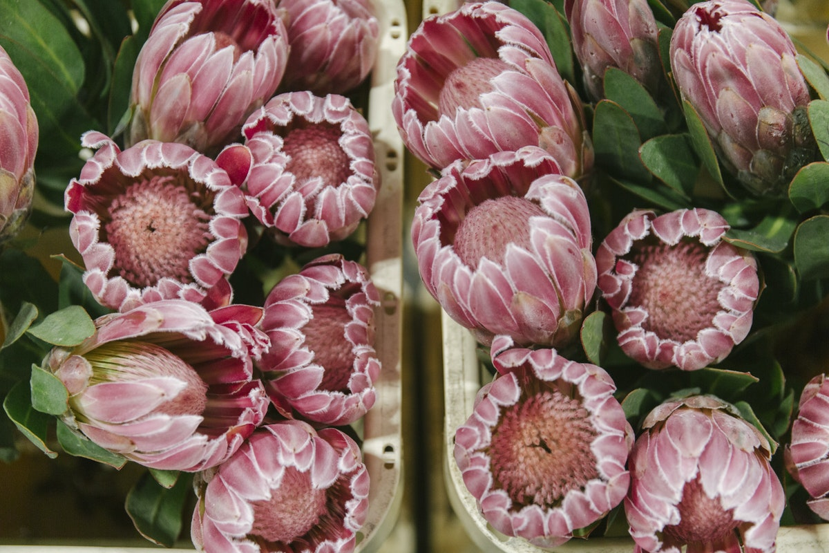 New Covent Garden Flower Market October 2019 In Season Report Rona Wheeldon Flowerona Protea Carnival At Zest Flowers