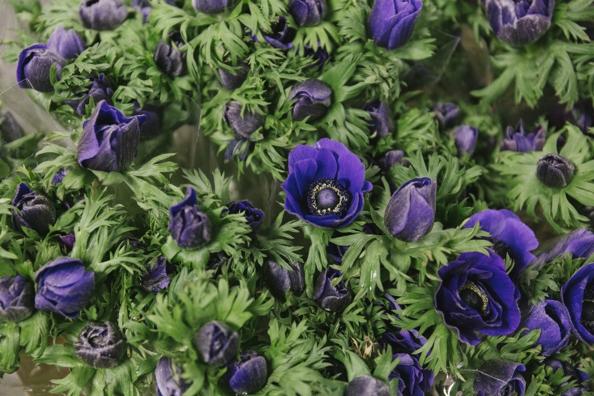 New Covent Garden Flower Market October 2019 In Season Report Rona Wheeldon Flowerona Purple Anemones At Dennis Edwards Flowers
