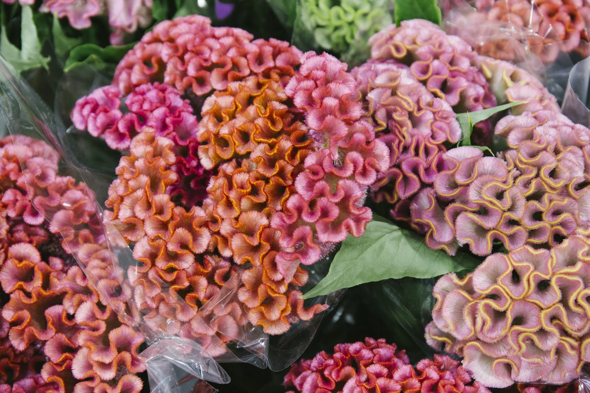 New Covent Garden Flower Market Report Living Coral Pantone Of The Year 2019 Celosia Cristata Haute Couture At Zest Flowers