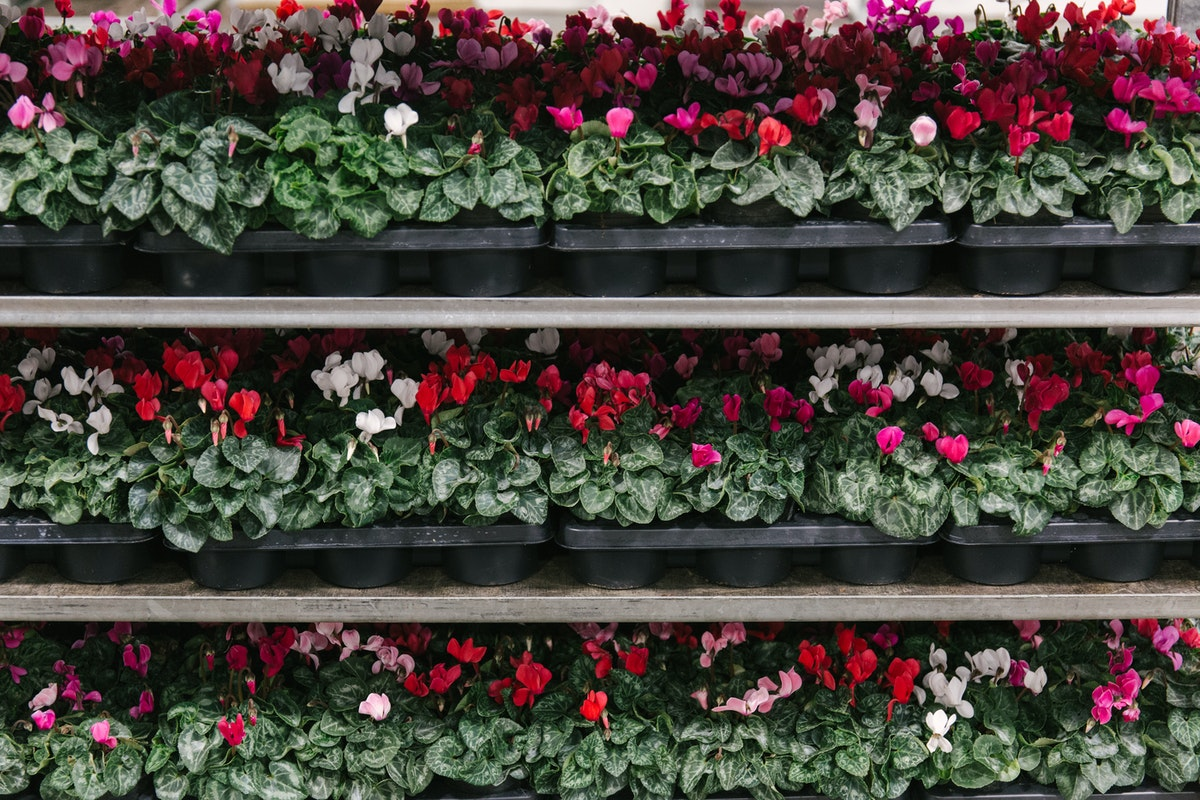 New Covent Garden Flower Market September 2018 In Season Report Rona Wheeldon Flowerona British Cyclamen Plants At L Mills