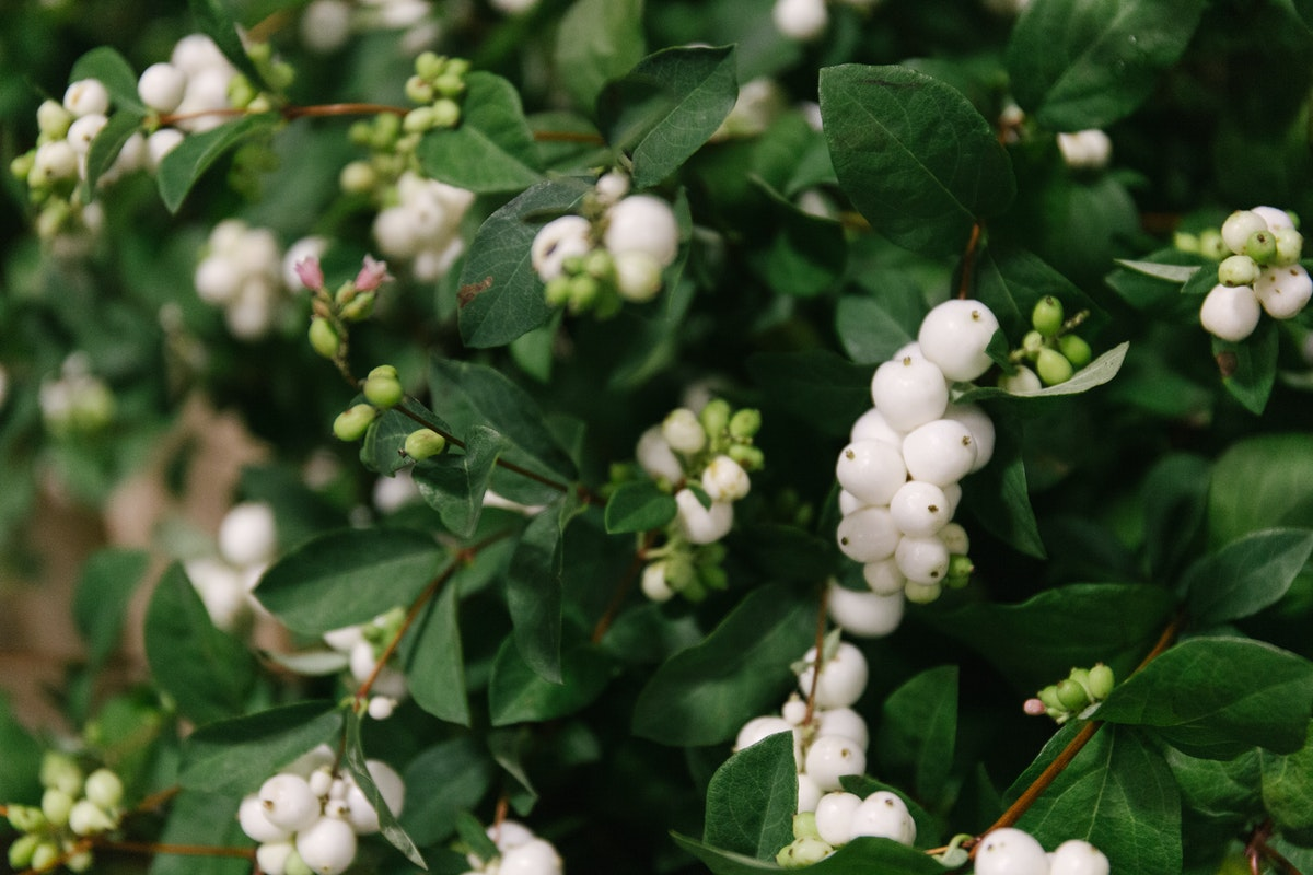 New Covent Garden Flower Market September 2018 In Season Report Rona Wheeldon Flowerona British White Snowberry At Porters Foliage