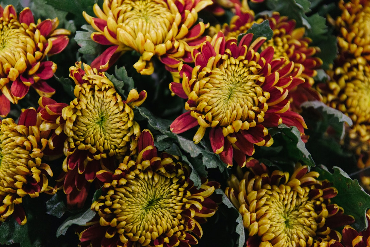 New Covent Garden Flower Market September 2018 In Season Report Rona Wheeldon Flowerona Chrysanthemum Tom Pearce At Bloomfield