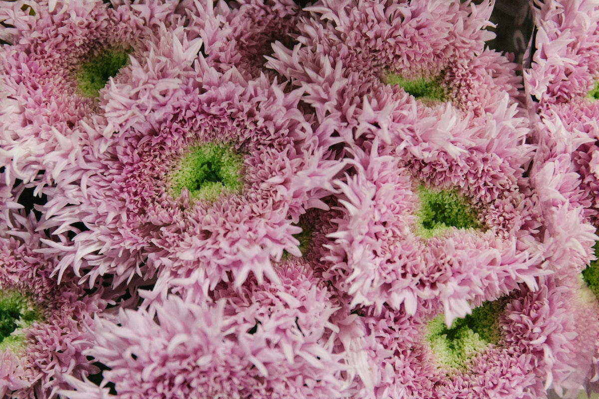 New Covent Garden Flower Market September 2018 In Season Report Rona Wheeldon Flowerona Pink Chrysanthemum Etrusko At Dennis Edwards Flowers