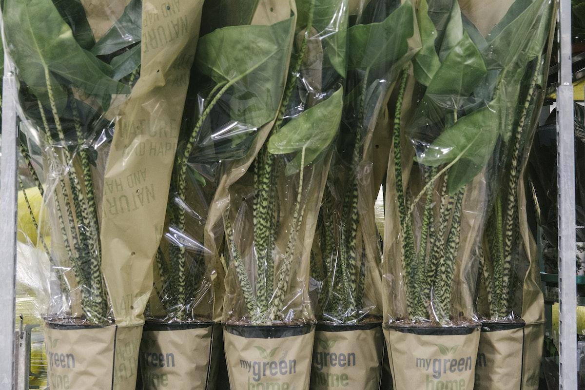 New Covent Garden Flower Market September 2019 In Season Report Rona Wheeldon Flowerona Alocasia Zebrina Plants At Arnott Mason
