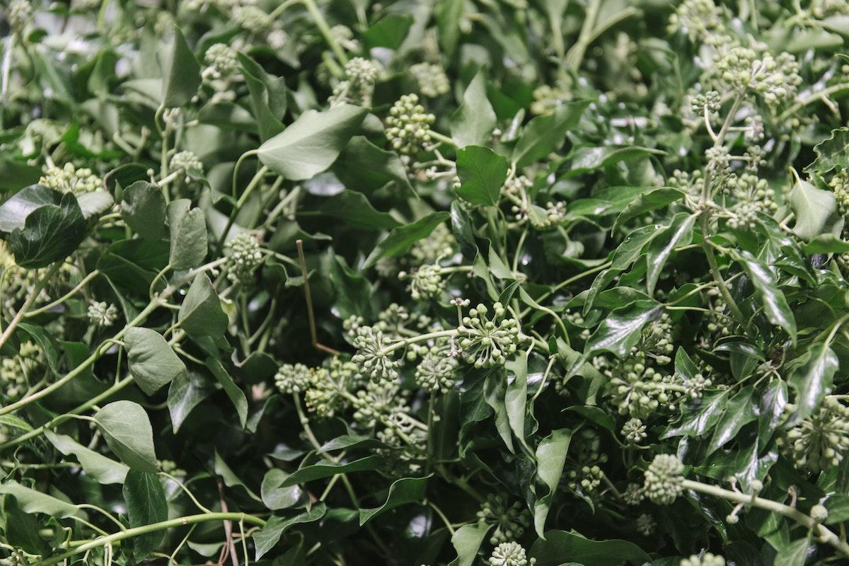 New Covent Garden Flower Market September 2019 In Season Report Rona Wheeldon Flowerona British Berried Ivy At Porters Foliage