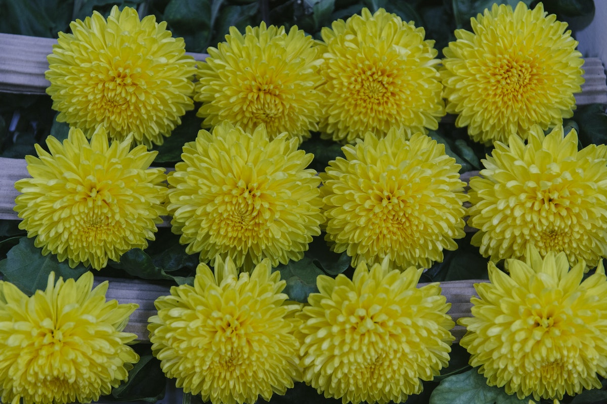 New Covent Garden Flower Market September 2019 In Season Report Rona Wheeldon Flowerona British Chrysanthemum Migoli At Pratley