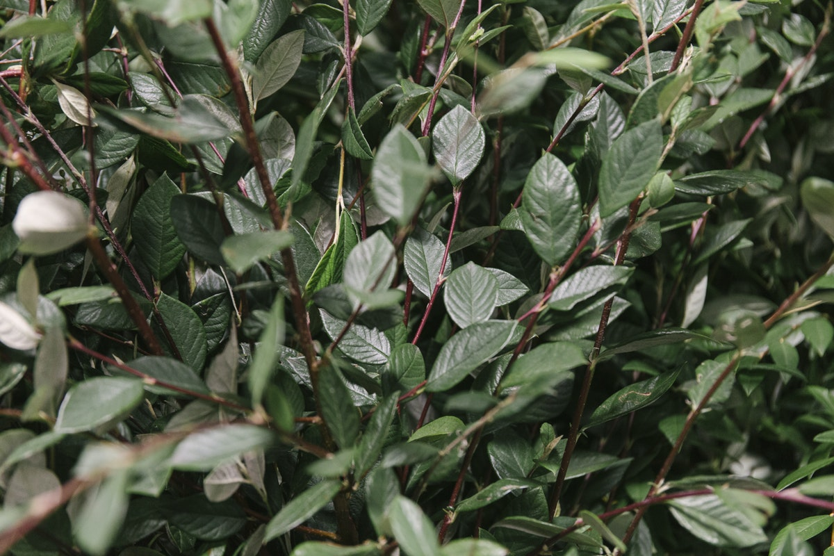 New Covent Garden Flower Market September 2019 In Season Report Rona Wheeldon Flowerona British Cotoneaster At Porters Foliage