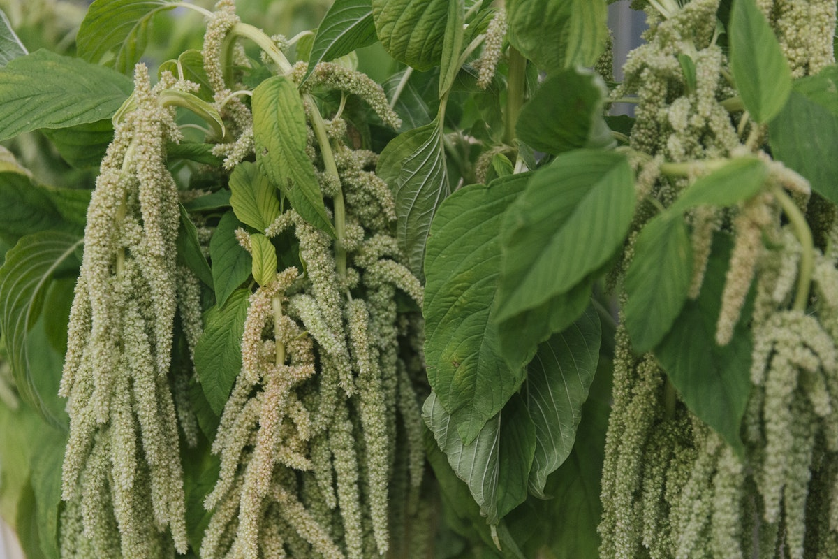 New Covent Garden Flower Market September 2019 In Season Report Rona Wheeldon Flowerona British Green Amaranthus At Zest Flowers