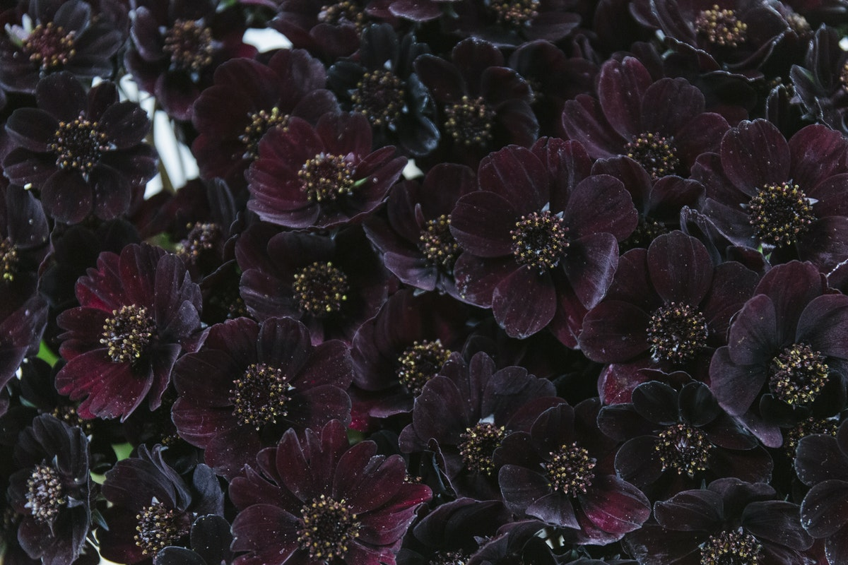 New Covent Garden Flower Market September 2019 In Season Report Rona Wheeldon Flowerona Chocolate Cosmos At Dennis Edwards Flowers