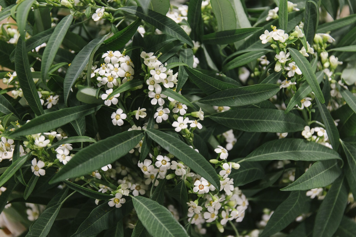 New Covent Garden Flower Market September 2019 In Season Report Rona Wheeldon Flowerona Euphorbia Fulgens Quicksilver At Dennis Edwards Flowers