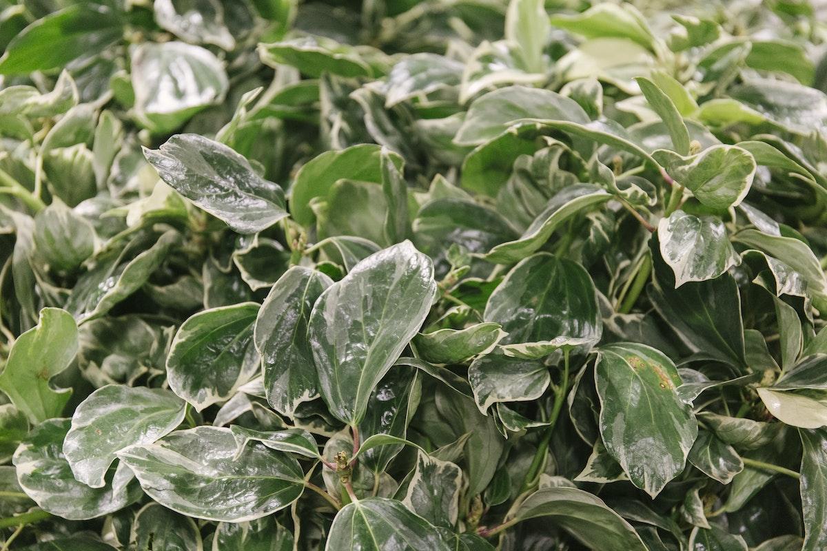 New Covent Garden Flower Market September 2019 In Season Report Rona Wheeldon Flowerona Variegated Ivy At Gb Foliage