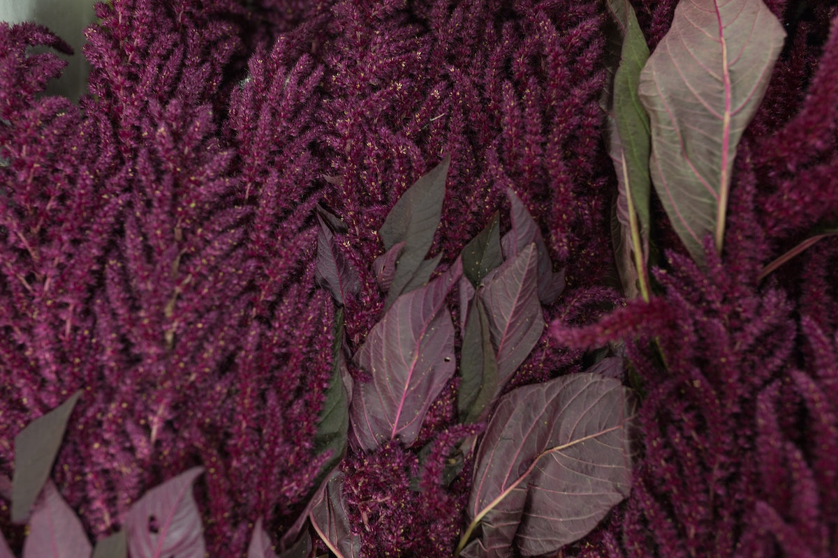 New Covent Garden Flower Market October 2017 Flower Market Report Rona Wheeldon Flowerona British Red Amaranthus At Pratley