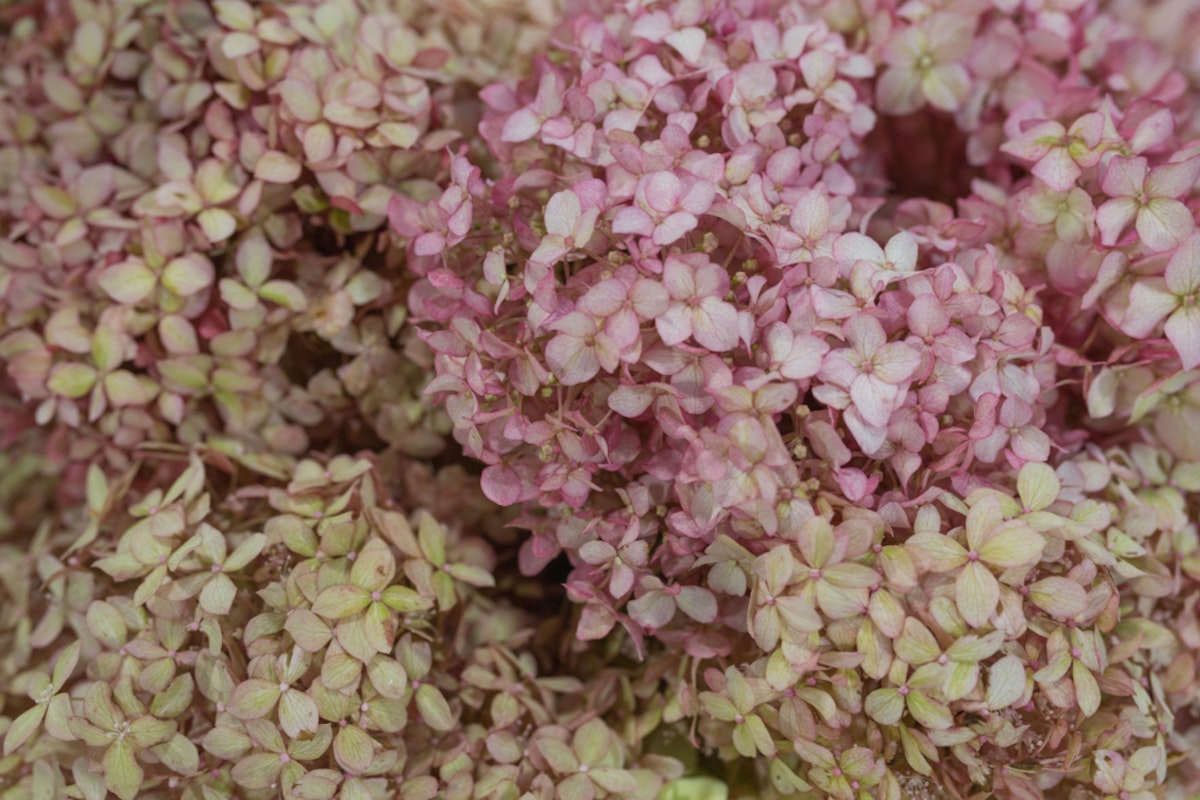 New Covent Garden Flower Market September 2017 Flower Market Report Rona Wheeldon Flowerona British Hydrangea Arborescens Y Pink Annabelle At Zest Flowers