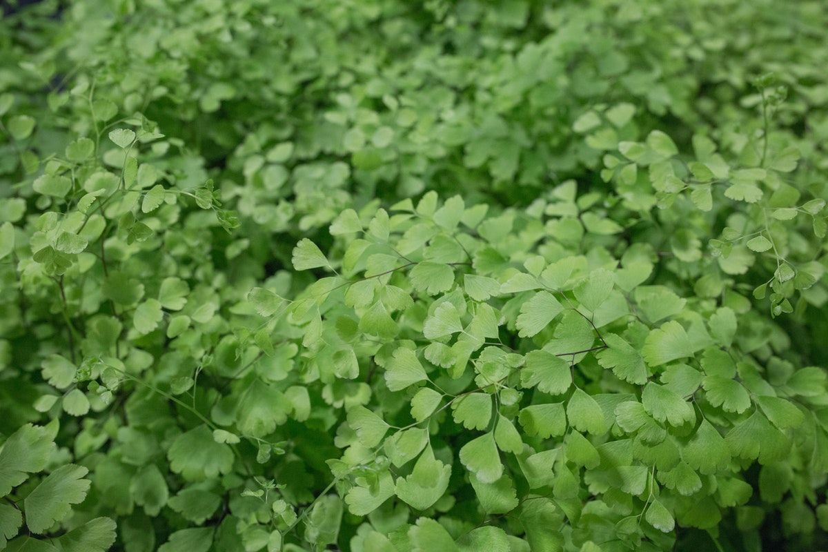 Adiantum Also Known As Maidenhair Fern At Quality Plants