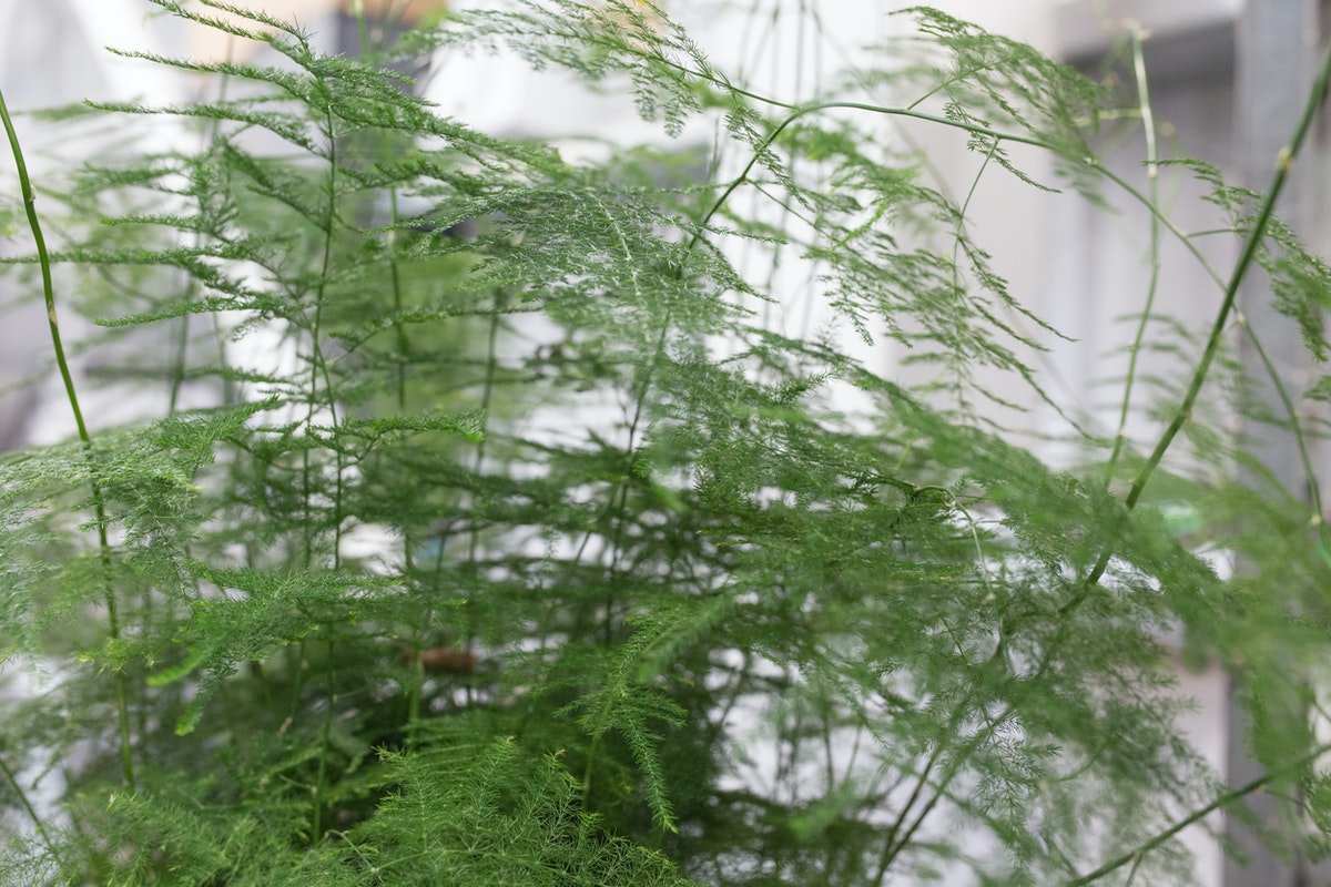 Asparagus Setaceus Also Known As Asparagus Fern At Quality Plants