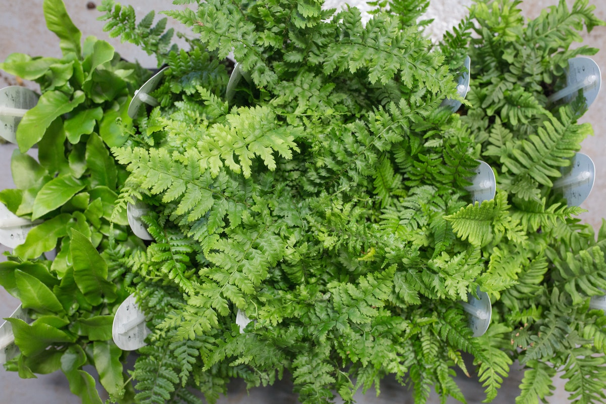Mixed Ferns Ôçô Asplenium Dryopteris Polystichum And Polypodium Evergreen