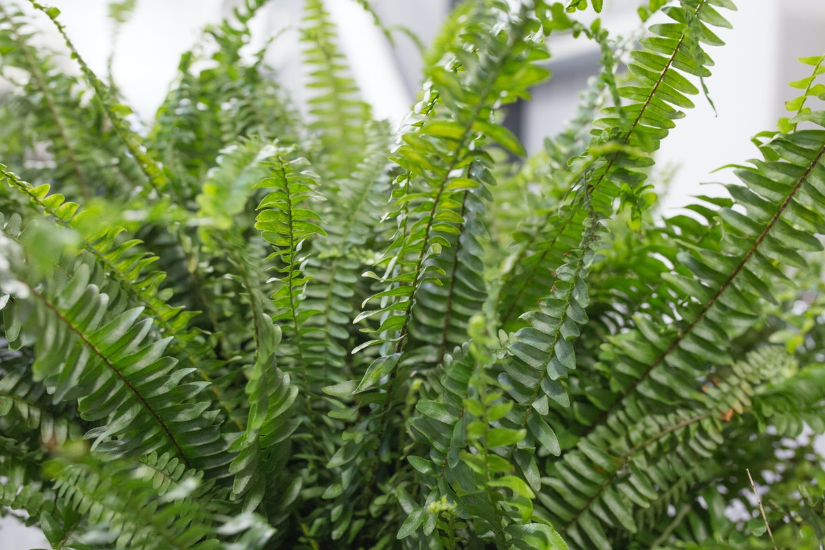 Nephrolepis Also Known As Boston Fern At Quality Plants