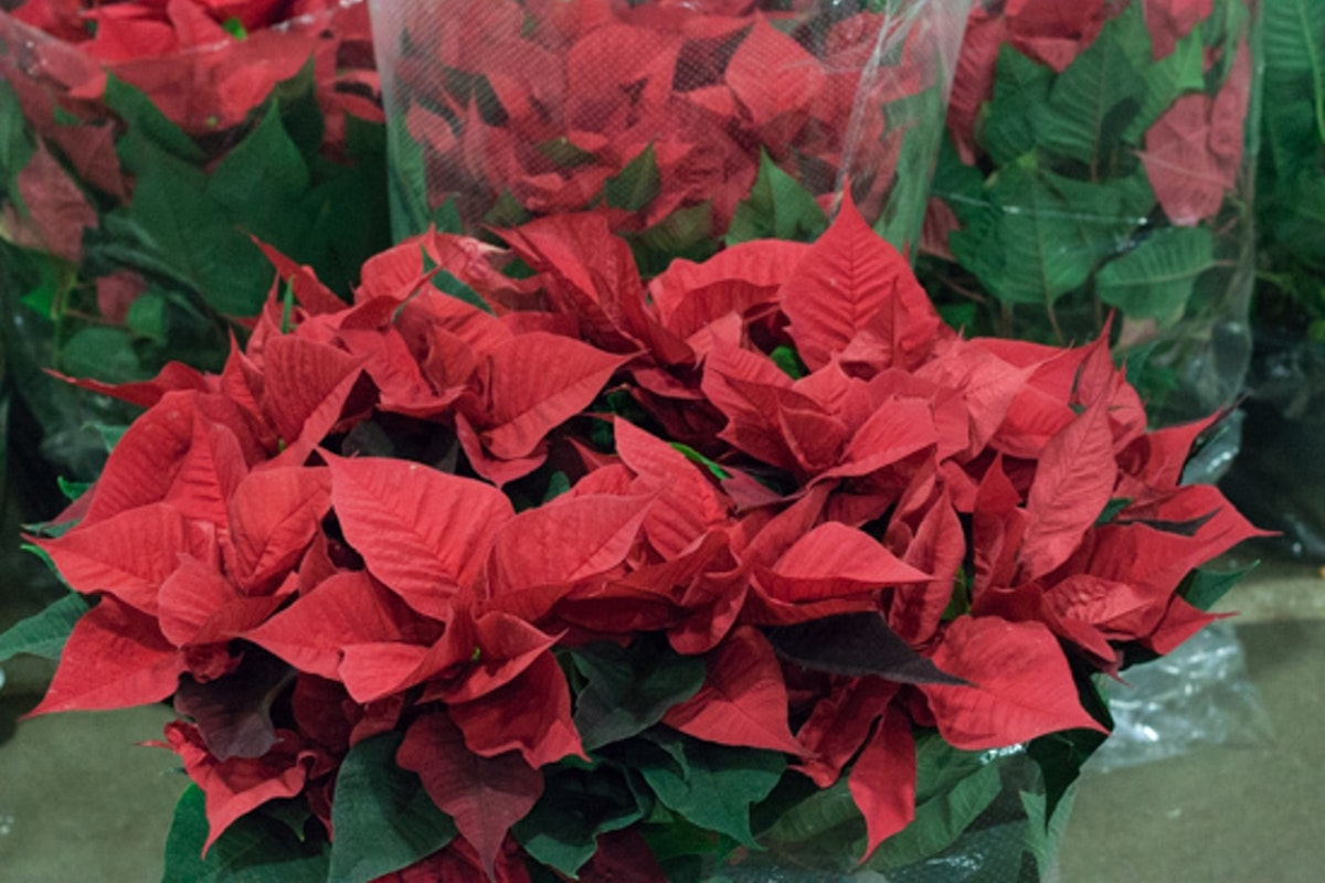 New Covent Garden Flower Market November 2016 Christmas Special Flowerona 130 Poinsettia