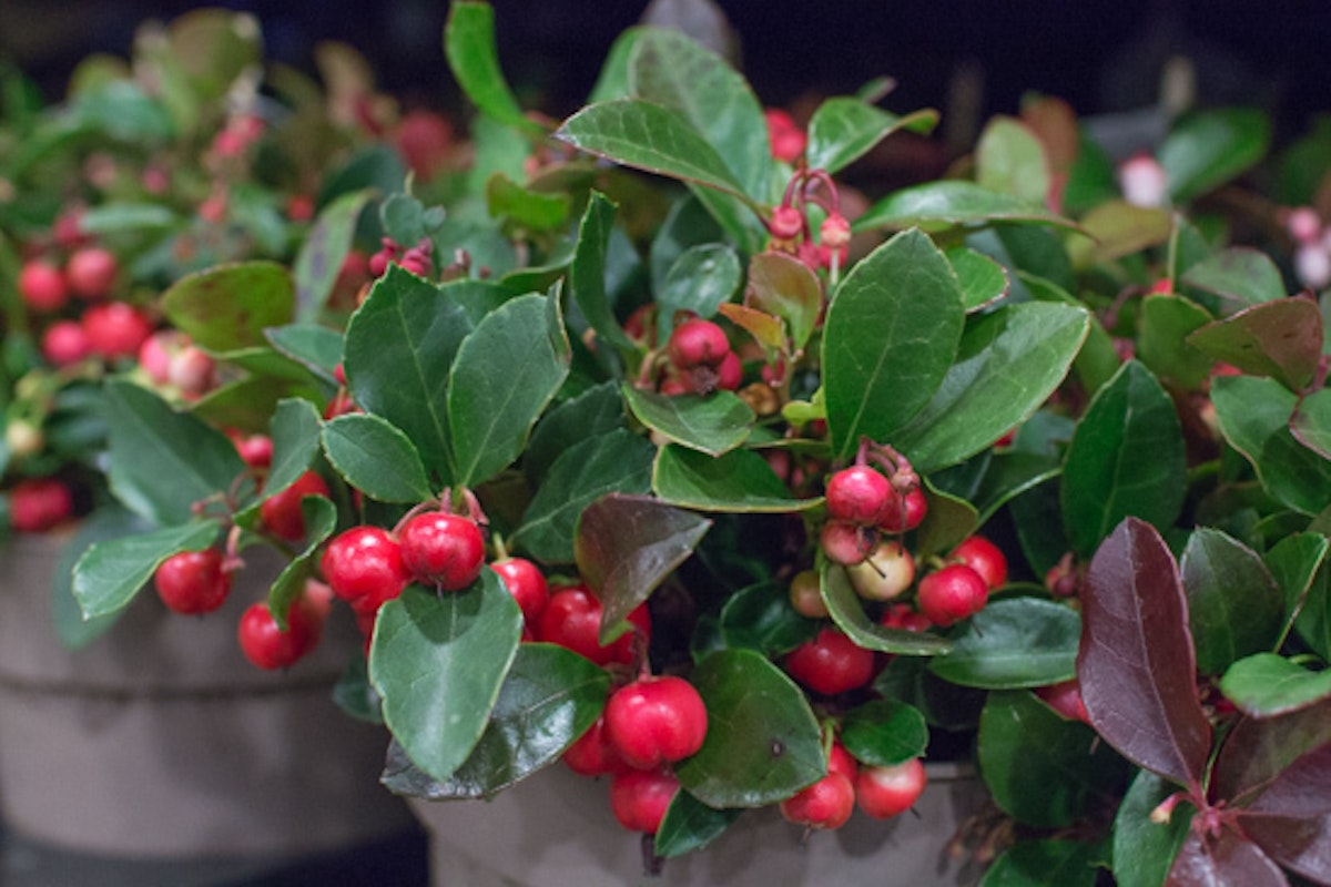 New Covent Garden Flower Market November 2016 Market Report Flowerona Gaultheria Procumbens
