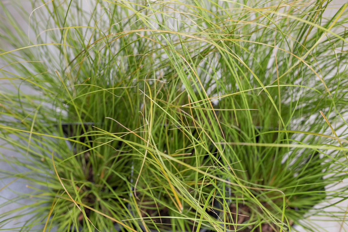 New Covent Garden Flower Market Product Profile Report August 2017 Grasses Carex Testacea Prairie Fire Plants At Evergreen