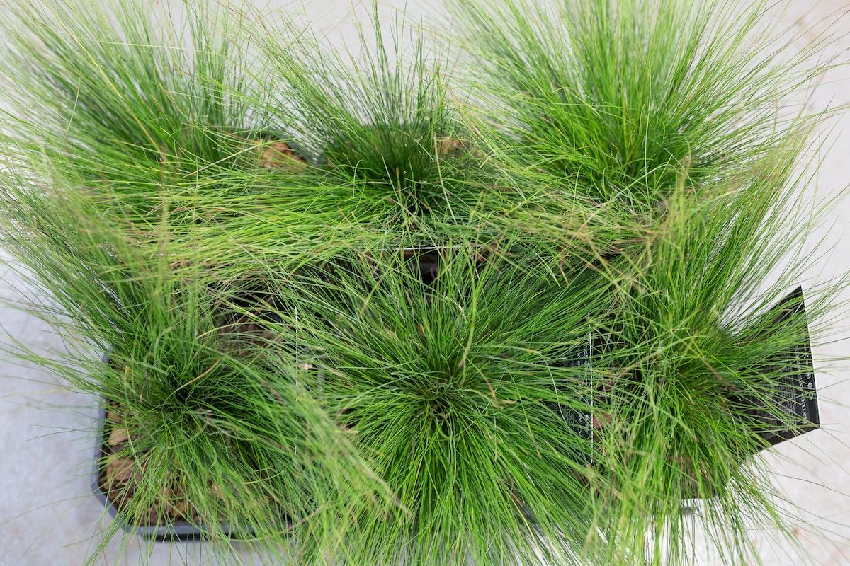 New Covent Garden Flower Market Product Profile Report August 2017 Grasses Festuca Ôçÿ Walberlaôçö Plants At Evergreen