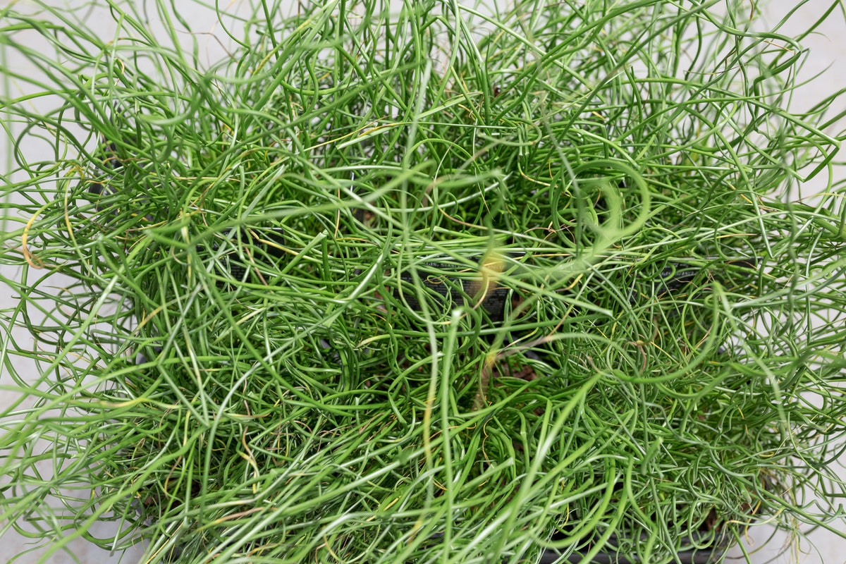 New Covent Garden Flower Market Product Profile Report August 2017 Grasses Juncus Effusus F Spiralis Plants At Evergreen