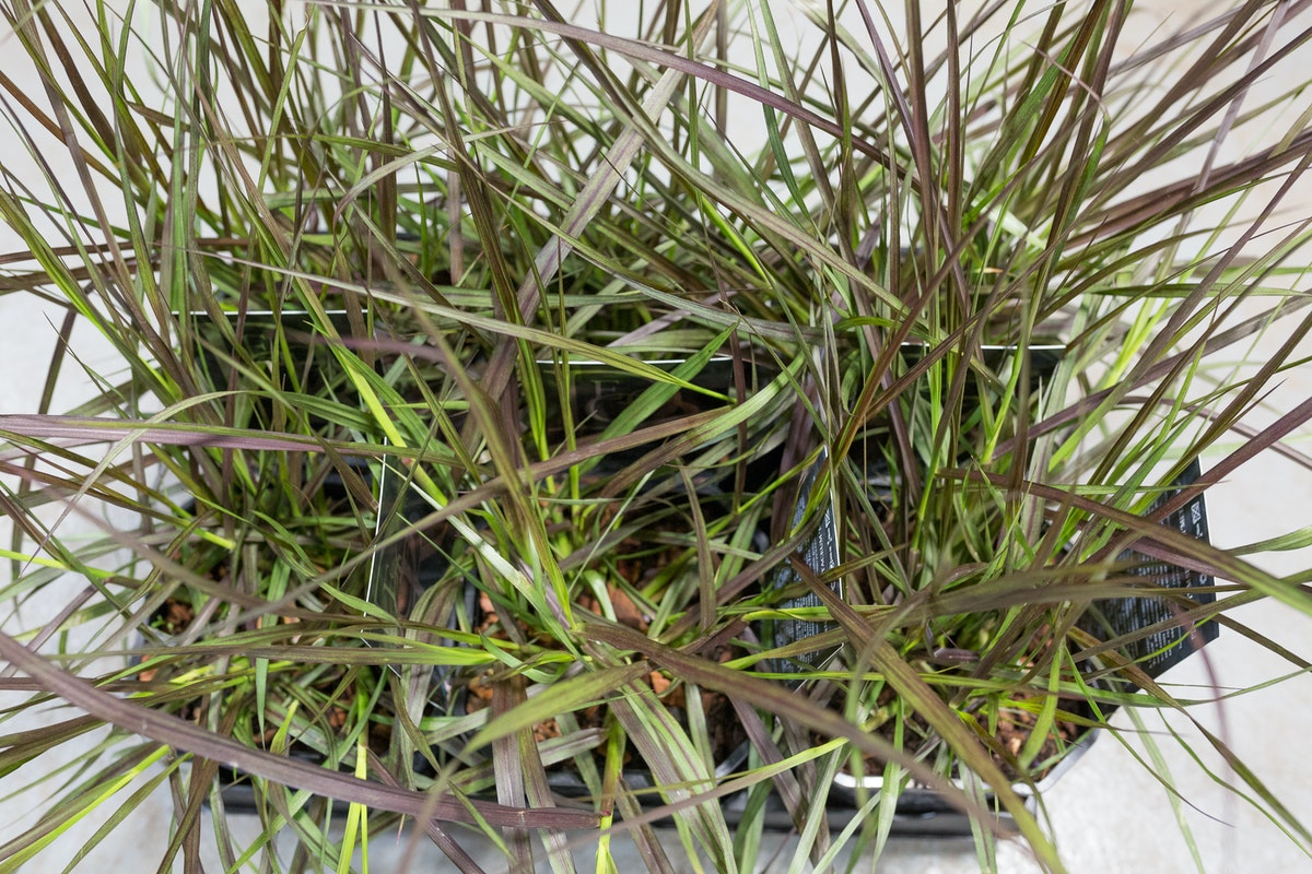 New Covent Garden Flower Market Product Profile Report August 2017 Grasses Pennisetum Ôçÿ Metallicaôçö Plants At Evergreen