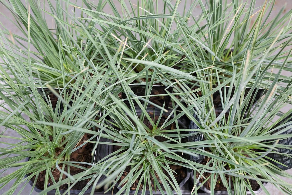 New Covent Garden Flower Market Product Profile Report August 2017 Grasses Sesleria Nitida Plants At Evergreen