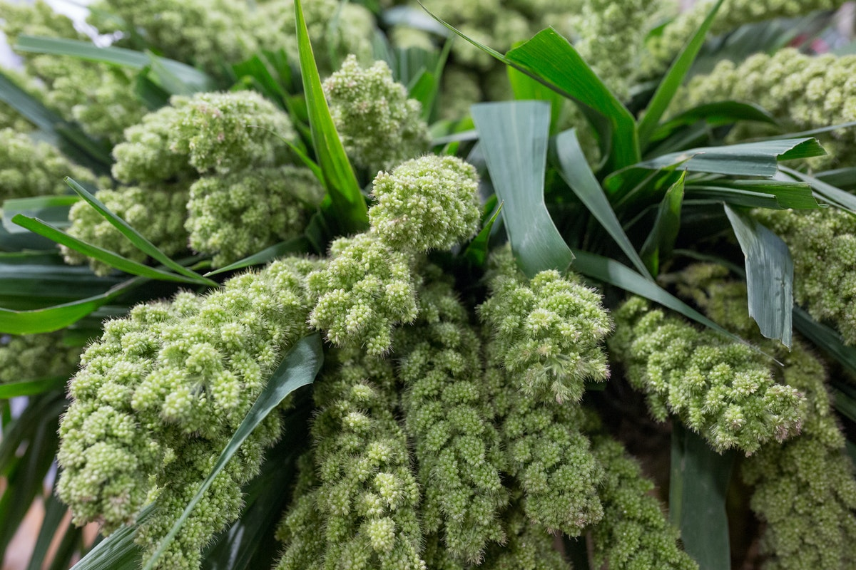 New Covent Garden Flower Market Product Profile Report August 2017 Grasses Setaria Italica Big Mama At Bloomfield