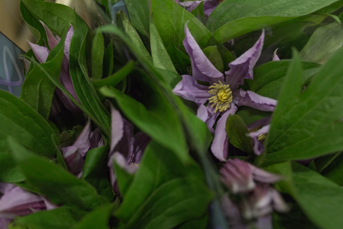 New Covent Garden Flower Market Product Profile Report July 2017 Clematis Amazing London Clematis At Bloomfield