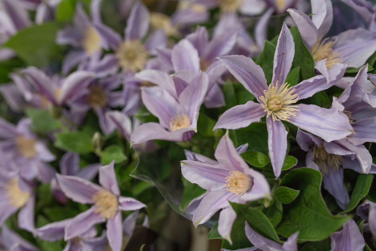 New Covent Garden Flower Market Product Profile Report July 2017 Clematis Star River Clematis At Dg Wholesale Flowers