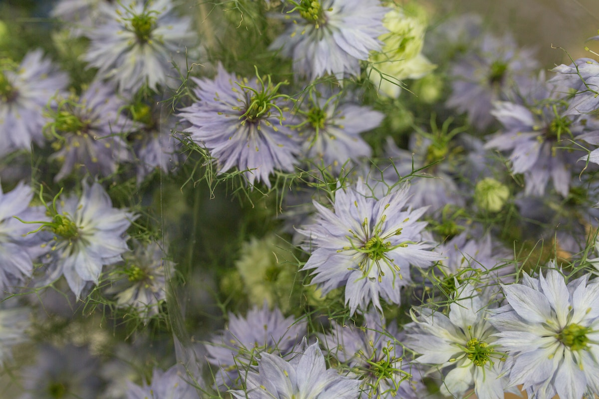 New Covent Garden Flower Market Product Profile Report Nigella June 2017 Rona Wheeldon Flowerona Pale Blue Nigella At Bloomfield