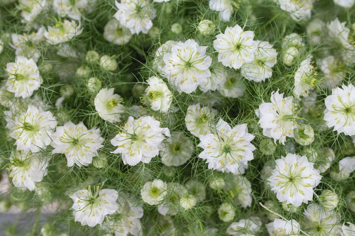 New Covent Garden Flower Market Product Profile Report Nigella June 2017 Rona Wheeldon Flowerona White Nigella At Bloomfield