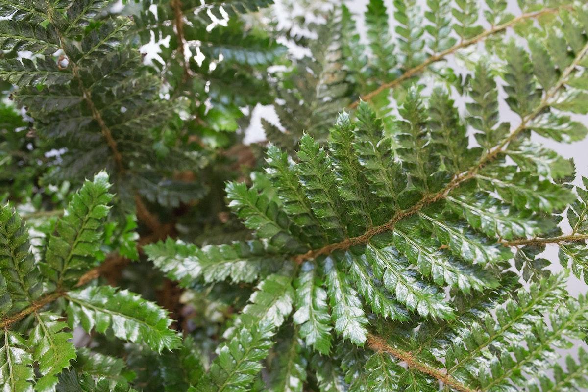 Polystichum Polyblepharum At Quality Plants