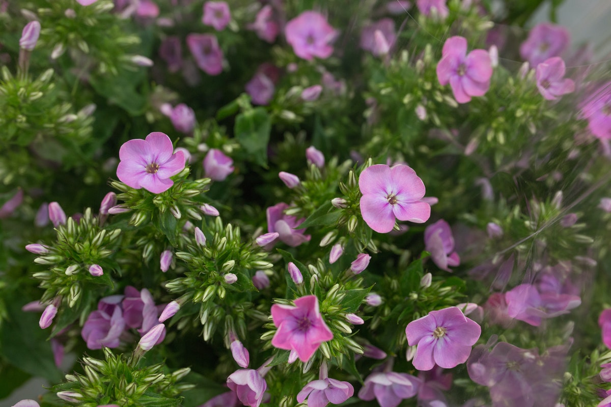 Senora Phlox At Zest Flowers