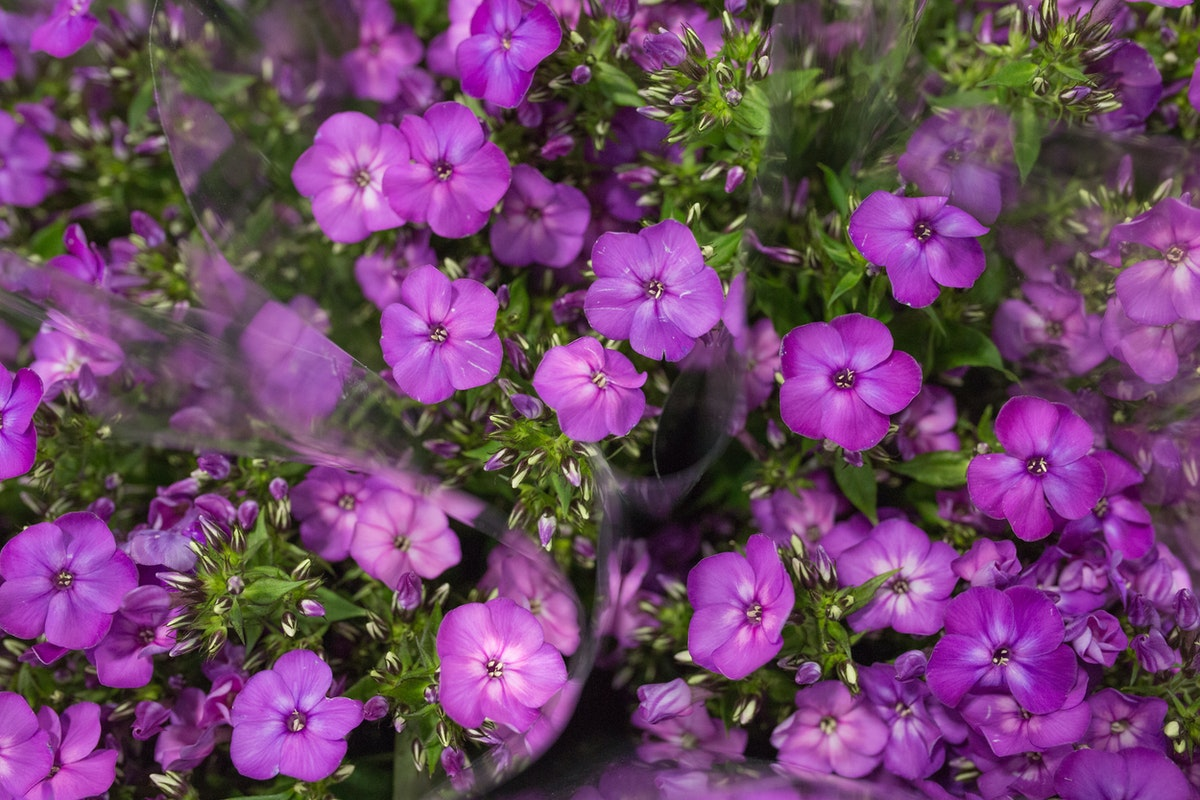 Sky Eyes Phlox At Dg Wholesale Flowers