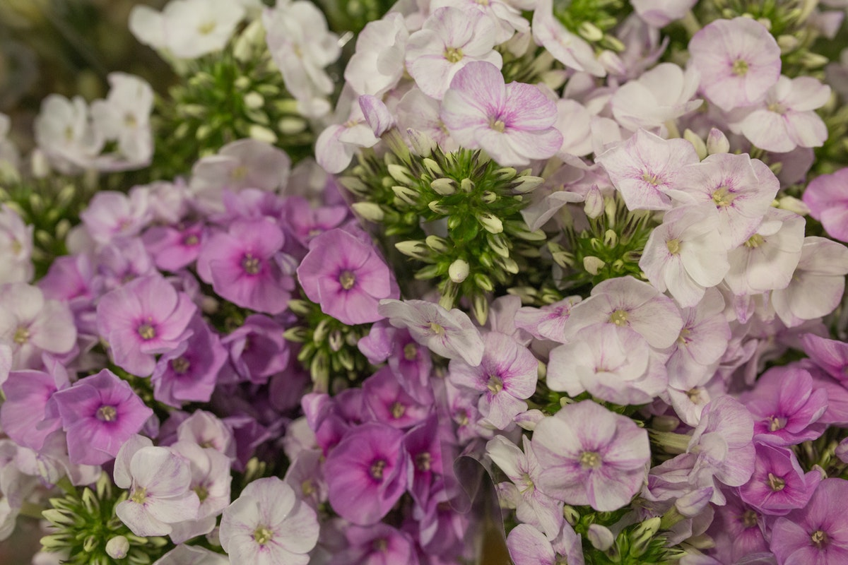 Spring Missy Phlox At Dg Wholesale Flowers