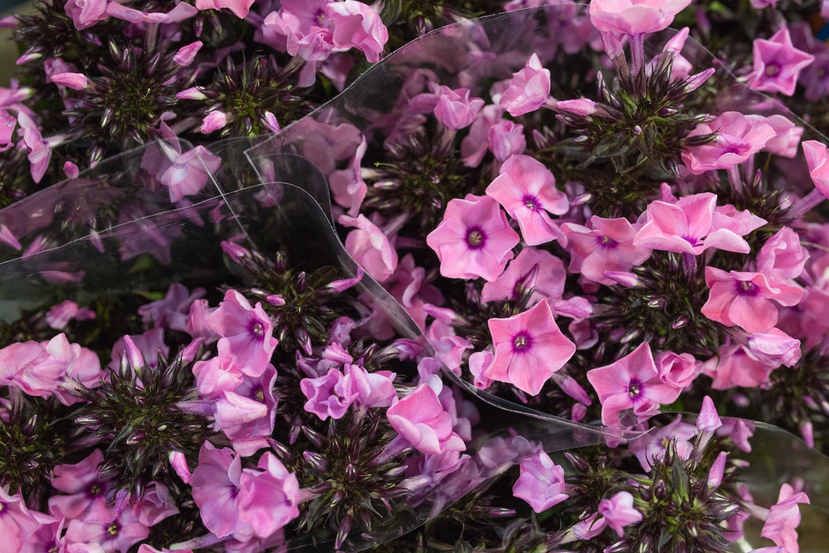 Sweet Summer Dream Phlox At Goodchild Floral Garden Group