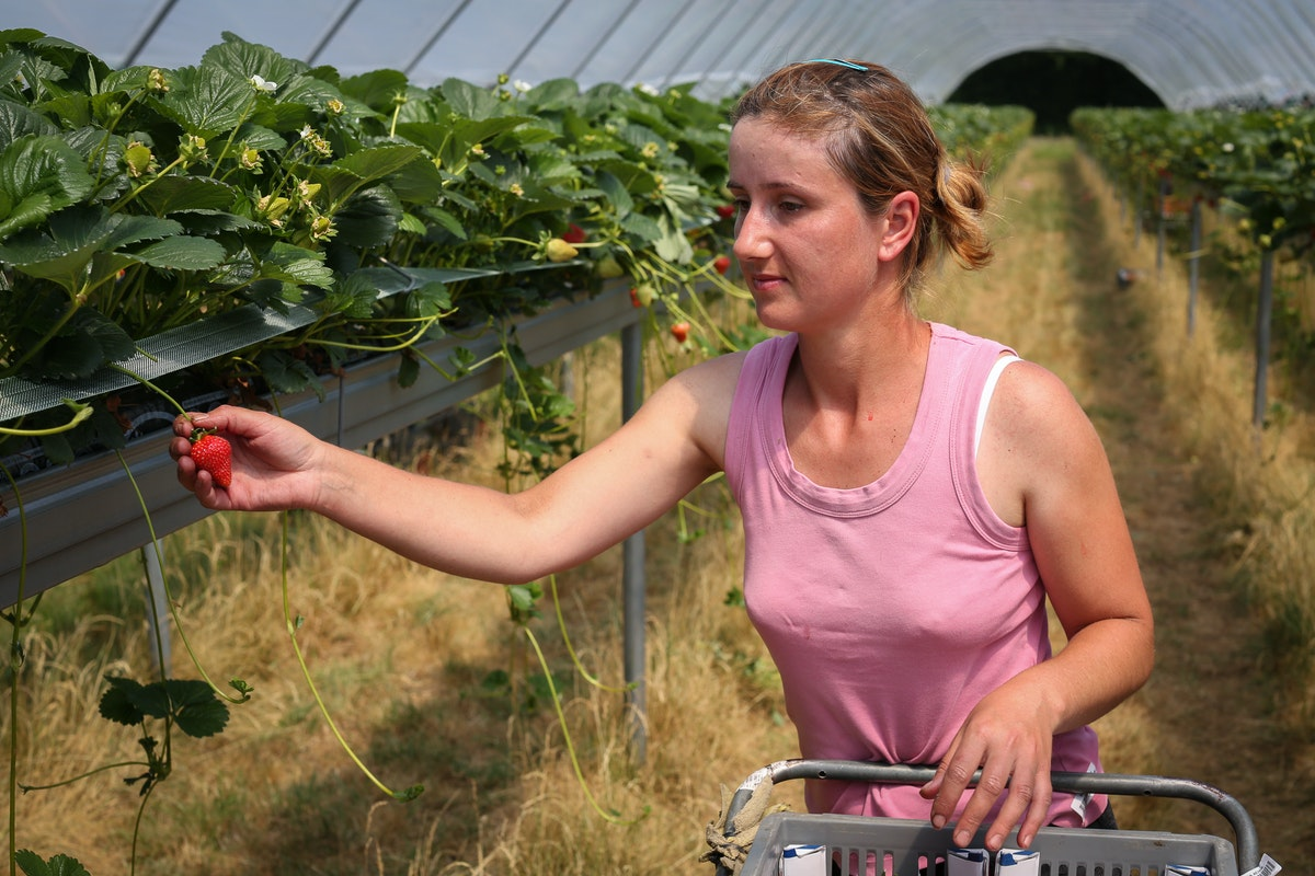Fruit And Veg Grower Profile June 2017 Hugh Lowe Female Picker
